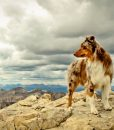 australian-shepherd-hd-wallpaper-768x480