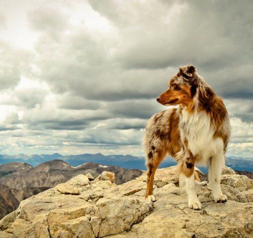 australian-shepherd-hd-wallpaper-768×480